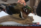 FALLEN TIMBERS WOOD DUCK