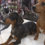 Six-month old Dachshund puppies are the Pets of the Week