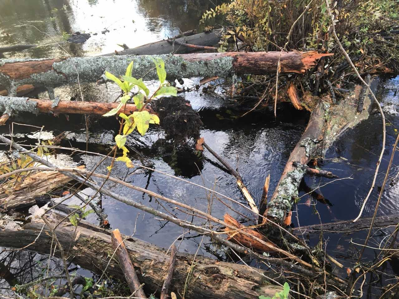 Photos of snapped trees that smashed a beaver dam in Mill Creek (City of Mill Creek photos)<p></p>