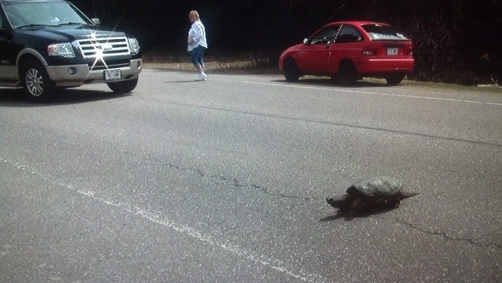 Drivers avoid a large snapping turtle as it crosses a Northwoods highway