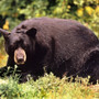 Black bear spotted three times in Green Bay neighborhood