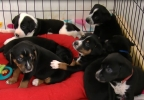 New litter of dogs named after fallen officers 6 (ABC7).PNG