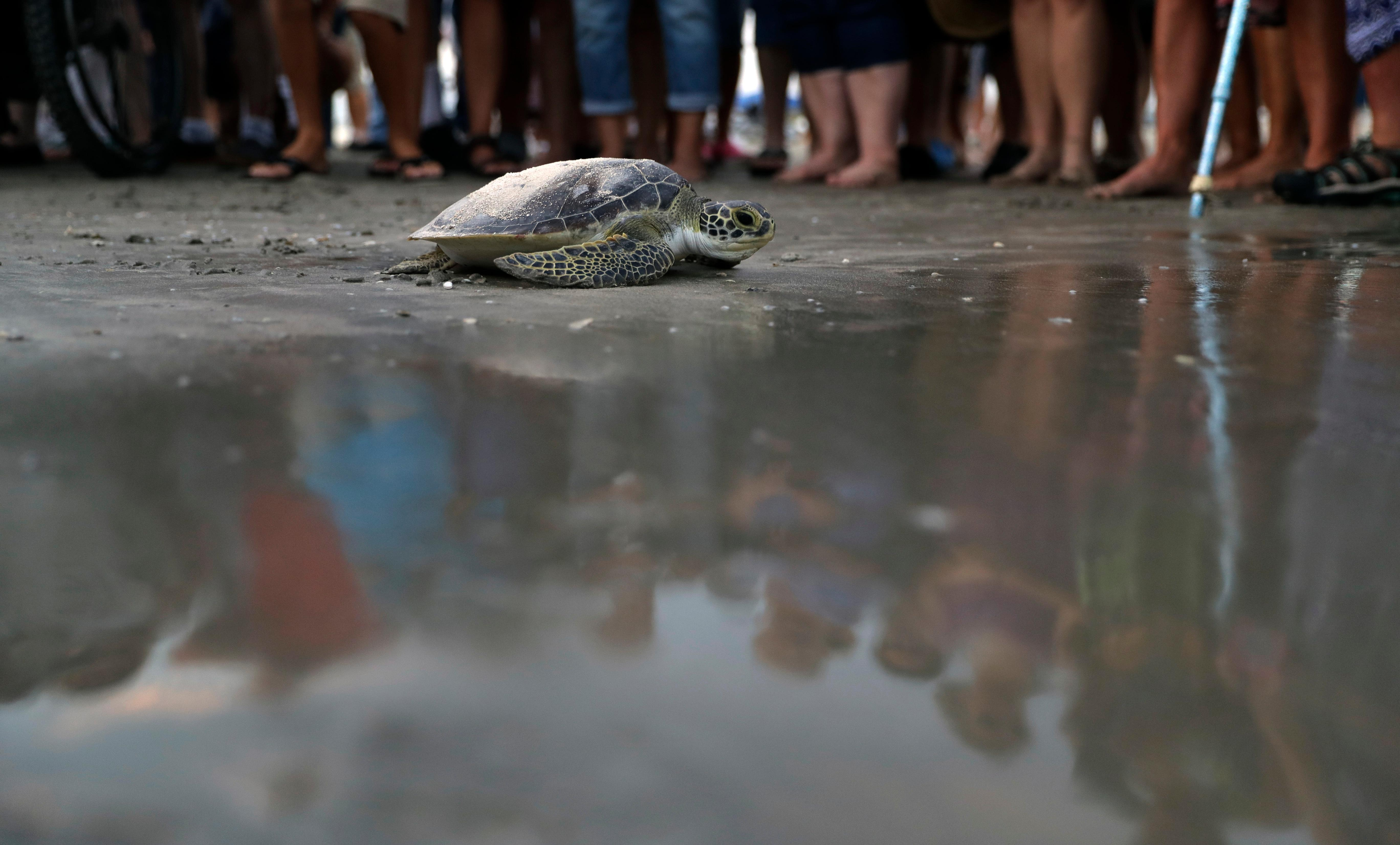 Mourners are reflected as a sea turtle named Picasso carries the ashes of Tony Amos, 80, a renowned oceanographer, on it's back as it is released back into the Gulf of Mexico following a memorial service, Saturday, Sept. 30, 2017, in Port Aransas, Texas. Amos died of complications from prostate cancer on Sept. 4, mere days after Harvey roared ashore as a fearsome hurricane.  (AP Photo/Eric Gay)