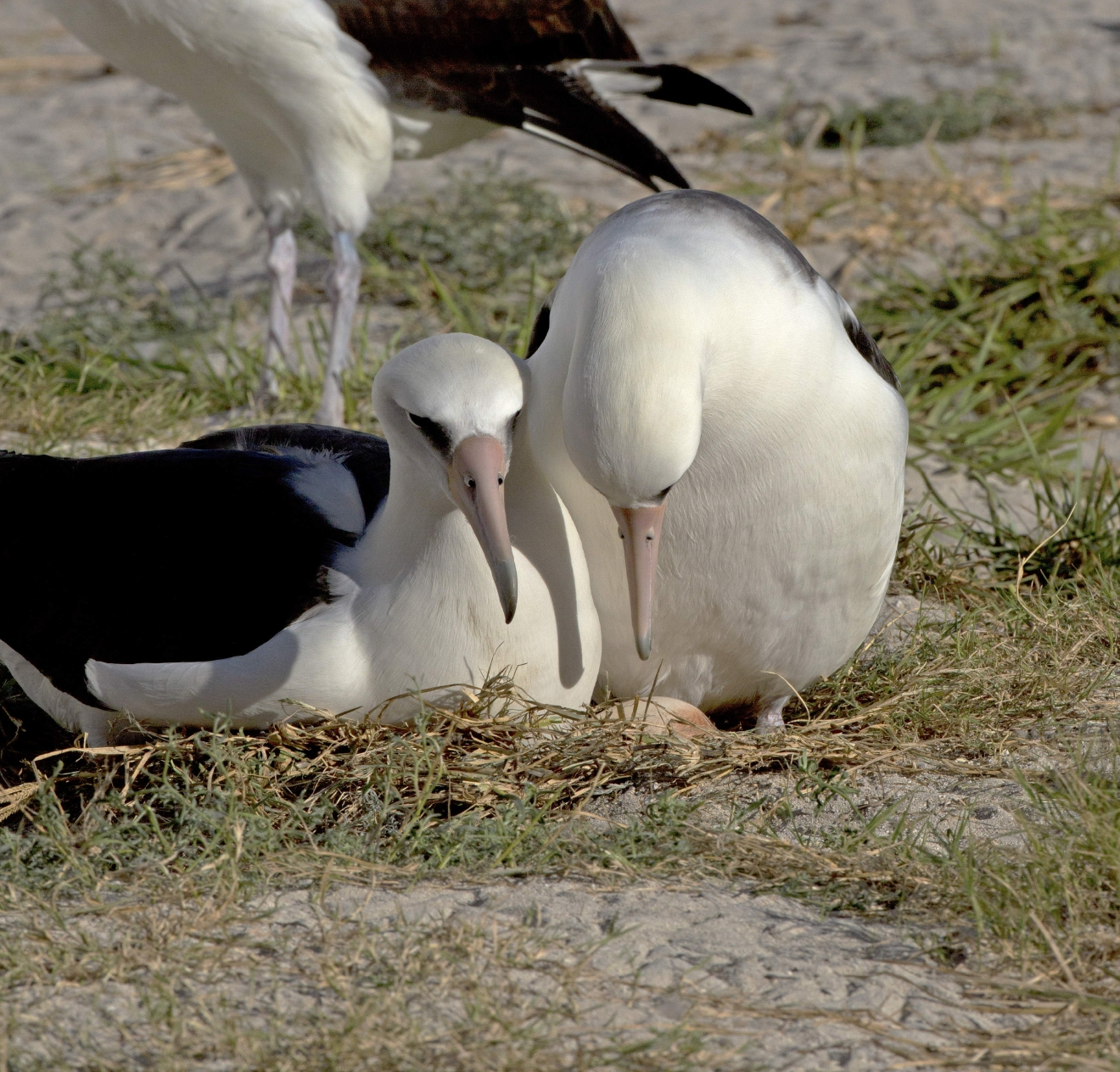 This Nov. 28, 2015 photo provided by the U.S. Fish and Wildlife Service shows the world's oldest known seabird, Wisdom, right, tending to an egg she laid, with her mate, at Midway Atoll, a wildlife refuge about 1,200 miles northwest of Honolulu. Biologists spotted the Laysan albatross called Wisdom at Midway Atoll National Wildlife Refuge earlier this month after she returned to the island to nest. She was incubating an egg at the same nest she uses each year with her mate. She's believed to be 66 years old. She's also the world's oldest known breeding bird in the wild. (Dan Clark/U.S. Fish and Wildlife Service via AP)