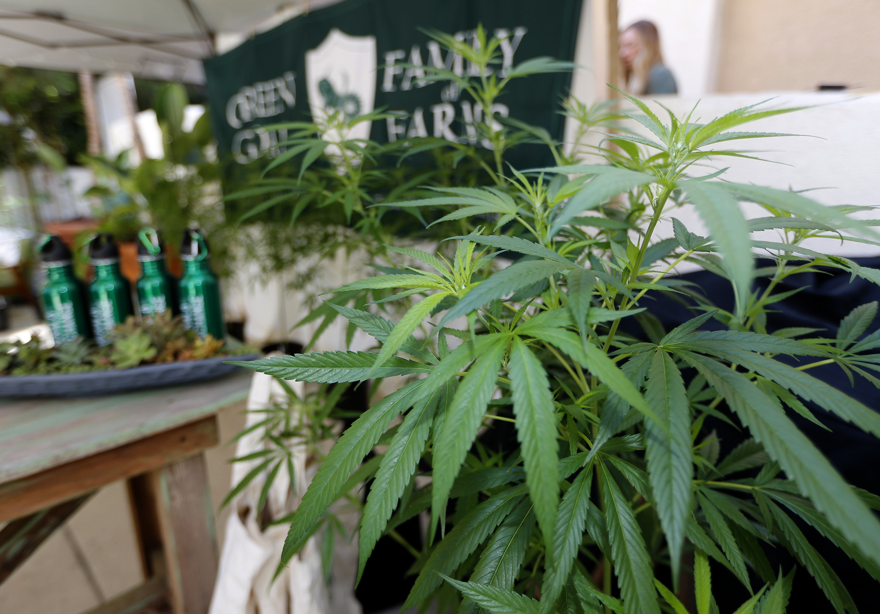 "FILE - In this Sept. 28, 2017, file photo, Marijuana plants are displayed at the Green Goat Family Farms stand at ""The State of Cannabis,"" a California industry group meeting in Long Beach, Calif. There will be no legal pot party in Los Angeles on Jan. 1. California kicks off recreational sales on New Year's Day, becoming the largest state in the nation with legal cannabis for adults. But Los Angeles officials announced Friday, Dec. 22, 2017, that dispensaries in the city won't be part of the celebration. The city won't begin accepting applications to sell legal recreational pot until Jan. 3, 2018, and it could take weeks before those businesses are properly licensed with the city and state. (AP Photo/Damian Dovarganes, File)"