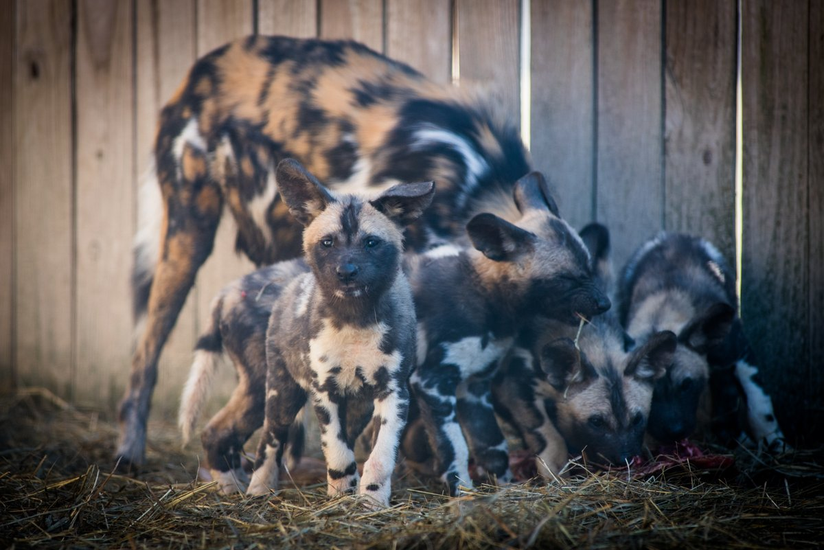 Zoo Introduces Endangered African Painted Dog Pups To