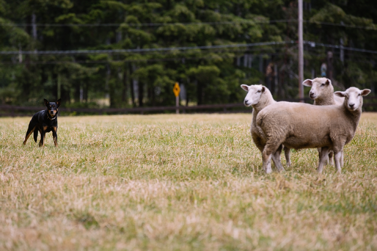 Vashon Sheepdog Trials