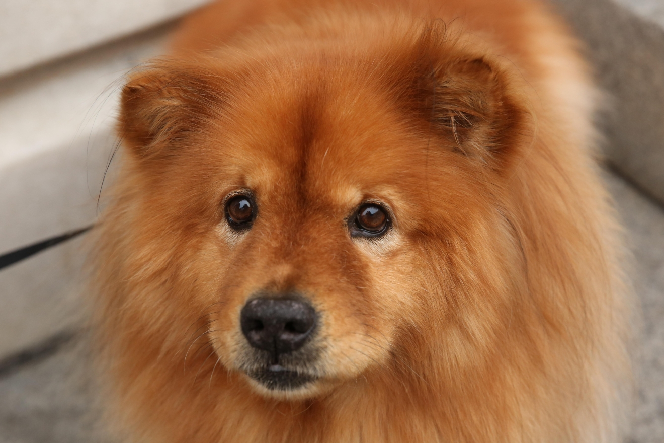 "Meet Izzy, an 8-year-old chow chow who is as fluffy as a lion, but sweet as a lamb! Izzy was actually adopted at age six from the Frederick County Animal Shelter and has lived with her mom and dad ever since! Her mom actually had a chow growing up and was so excited to find an adoptable chow. Izzy has done a significant amount of traveling in her two years with her new family, and they've found that she loves riding in the car and loves exploring new places. Her favorite game to play is ""treat hockey"" where mom and dad pass a treat back and forth for her to steal -- spoiler alert: she always wins the treat! Izzy is also an Instagram star, where she is known as the ""Secretary of the U.S. Department of Fluff"" -- you can follow her adventures at @izzy_the_chow.  If you or someone you know has a pet you'd like featured, email us at dcrefined@gmail.com or tag #DCRUFFined and your furbaby could be the next spotlighted pet! (Image: Amanda Andrade-Rhoades/ DC Refined)"
