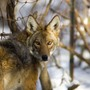 Pet, livestock owners beware: coyote activity increasing across Michigan
