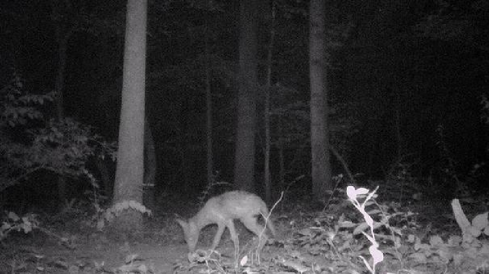 Fairfax County finds proof coyotes are breeding in local ...