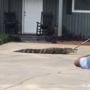 Gator captured Thursday in Coffee County driveway