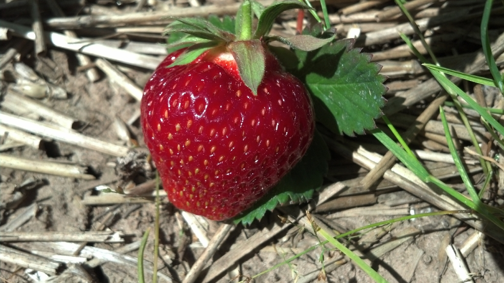 A strawberry at Porter's Patch near Navarino, Monday, June 16, 2014. (WLUK/Eric Peterson)