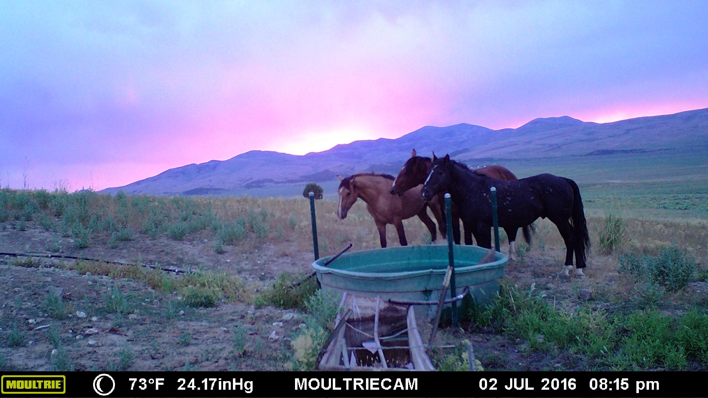 A trail camera captures a photo of mustangs in the Nevada wild on July 2, 2016 (Photo courtesy Nevada Dept. of Wildlife)
