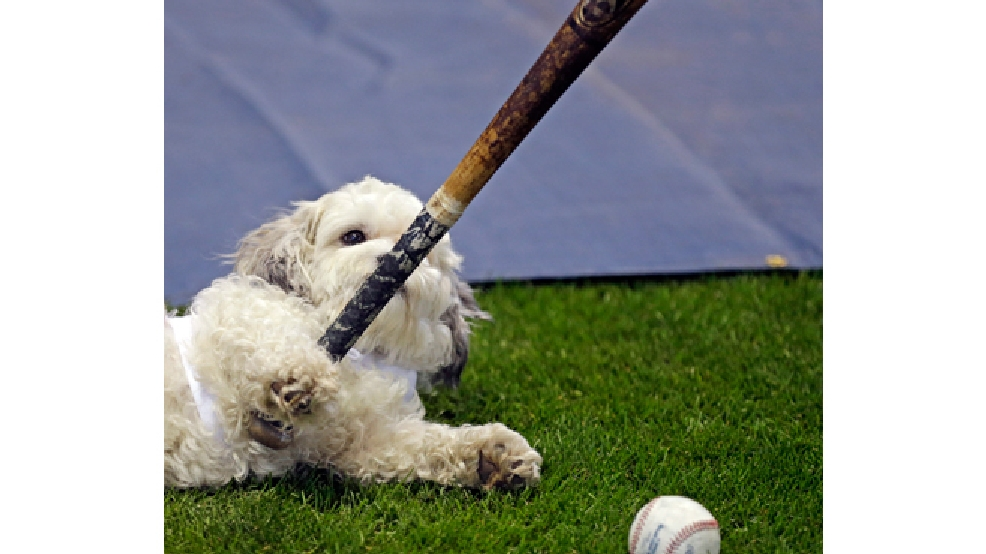 Hank, the unofficial mascot of the Milwaukee Brewers, plays with a player's bat on the field before the opening day baseball game between the Milwaukee Brewers and Atlanta Braves at Miller Park, Monday, March 31, 2014, in Milwaukee. (AP Photo/Jeffrey Phelps)