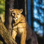 Benton County sheriff's employee reports possible cougar sighting