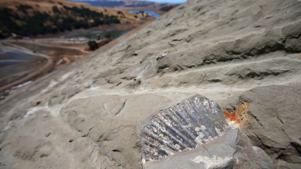 In this Monday, June 30, 2014, a scallop fossil is photographed on a hillside at the Calaveras Dam replacement project in Fremont, Calif. Giant teeth from a 40-foot-long shark and portions of what could turn out to be an entire whale skeleton are among the hundreds of fossils being carefully unearthed at a dam construction site in Silicon Valley. (AP Photo/ Bay Area News Group, Aric Crabb)