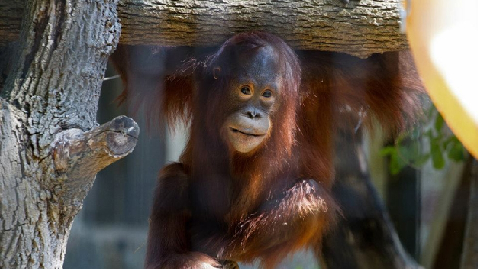 This 2012 photo released by the Milwaukee County Zoo shows Mahal, a 5-year-old orangutan, at the zoo in Milwaukee. Scientists in Wisconsin say a newly discovered parasite is responsible for Mahal's death in 2012. He was one of the zoo's star attractions when he died. (AP Photo/The Milwaukee County Zoo, Scott Engel)
