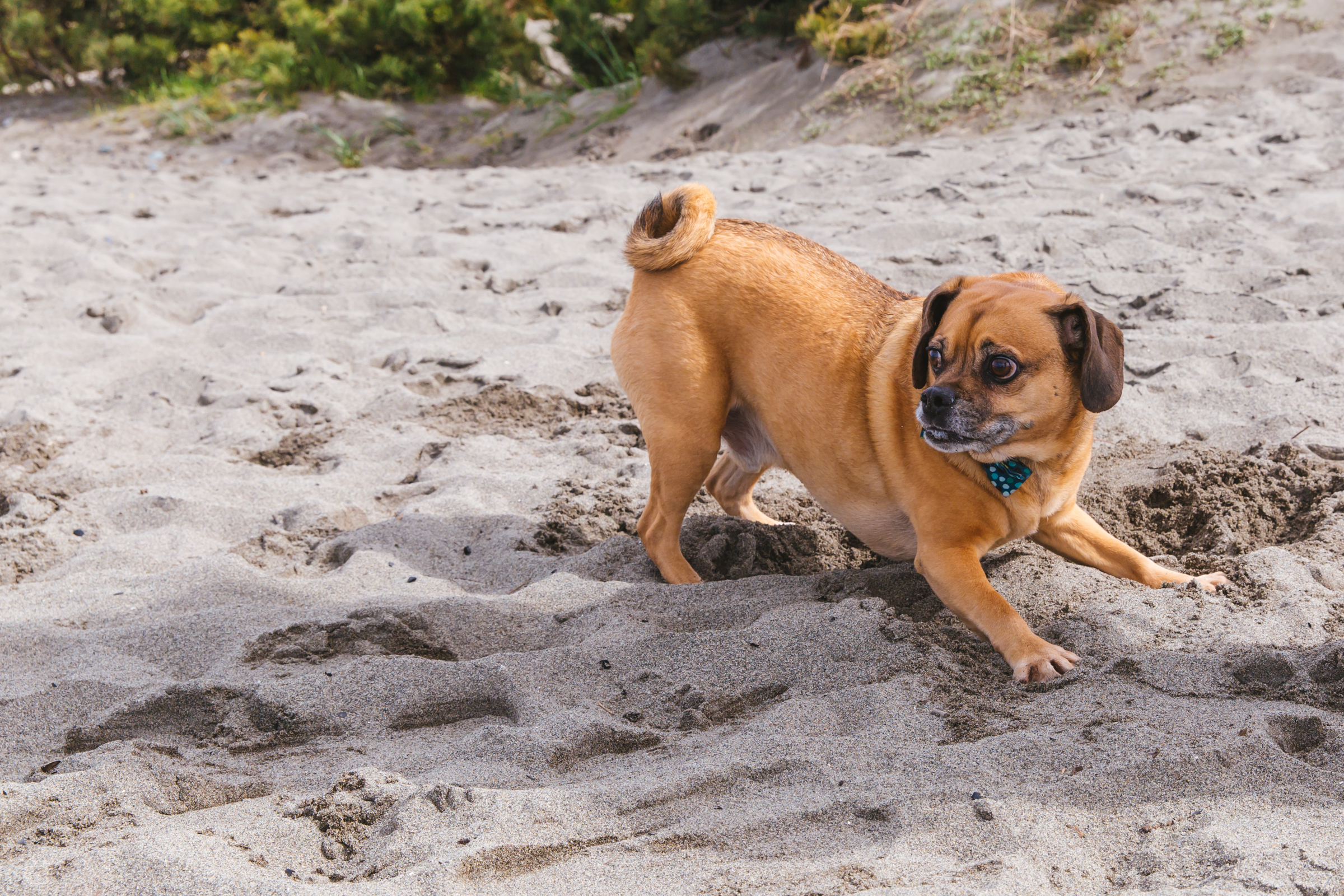 Our RUFFined Spotlight this week is Percy the Puggle! Percy lives with his mumsie, Amy, who got him from a farm in Missouri. Since then, Percy has traveled all around the country making him quite the little travel companion. Percy likes cheese, running in a figure 8, digging in the sand, kids, and attention. He dislikes when the street sweeper comes down the street, swimming, and when the dogs on TV ignore him. The Seattle RUFFined Spotlight is a weekly profile of local pets living and loving life in the PNW. If you or someone you know has a pet you'd like featured, email us at hello@seattlerefined.com or tag #SeattleRUFFined and your furbaby could be the next spotlighted! (Image: Sunita Martini / Seattle Refined).