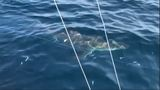 Great white shark spotted off the coast of Stuart