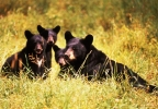 Black bear sow and cubs (Wisconsin DNR/Herbert Lange, file photo)