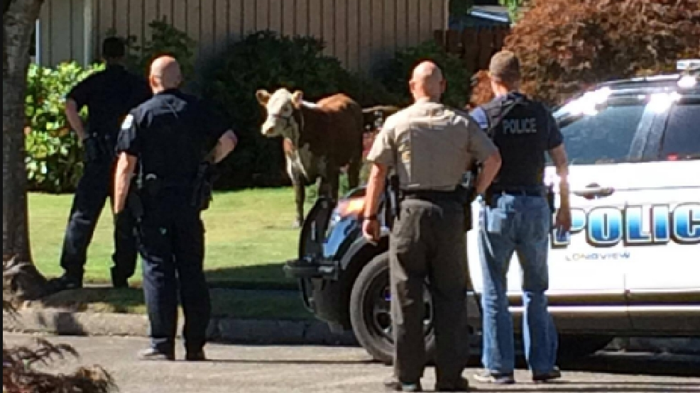 Report: Longview officer run over by cow, hospitalized | KATU
