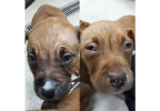The Fond du Lac Humane Society is caring for these American Staffordshire terriers. (Courtesy: Fond du Lac Humane Society)