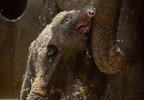 Asian Elephant Calf 0488 - Grahm S. Jones, Columbus Zoo and Aquarium.jpg