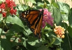The Butterfly Gardens of Wisconsin open for the season Saturday.