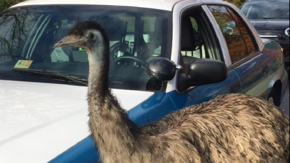 Police Nab Escaping Emus In Prince William County Va Wgme