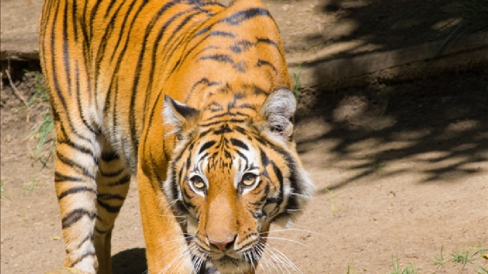 A Bengal tiger in the San Diego Zoo (Photo Credit: Courtesy of Antoine Taveneaux)
