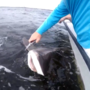 VIDEO: Navarre man reels in shark