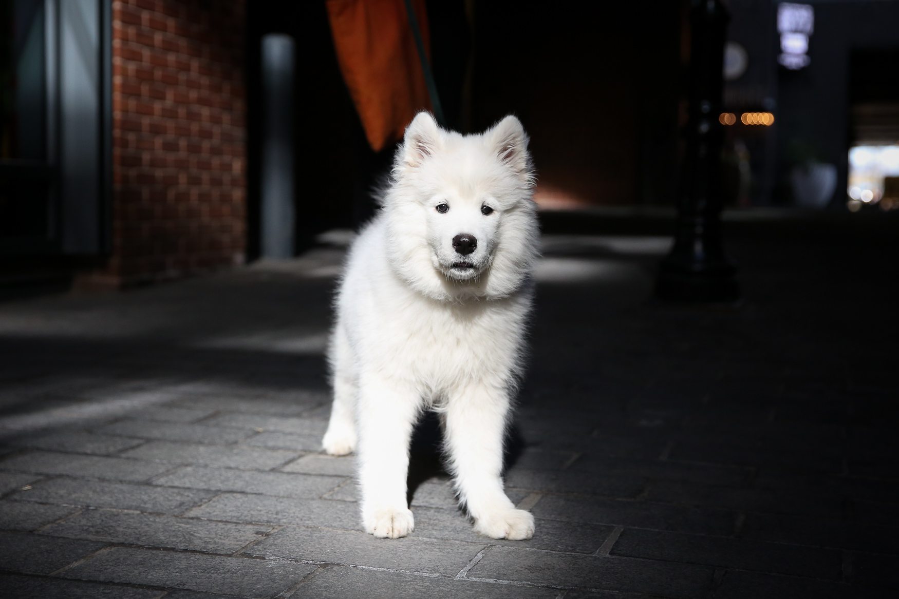 Meet Kasha, a 3.5-month-old Samoyed pup, who just came from Connecticut to live with her family this past December.{ } Her second weekend in D.C., she experienced her first snow. She kept burying her face in it, rolling around and eating it, and blended in almost too well. When she finally came inside, she was soaking wet, but happy as a clam. Kasha loves peanut butter, smelly shoes and the West Wing theme song. She does not like her gentle lead collar and that she's still too young to go to dog parks.If you're interested in having your pup featured, drop us a line at aandrade@dcrefined.com (Image: Amanda Andrade-Rhoades/DC Refined)