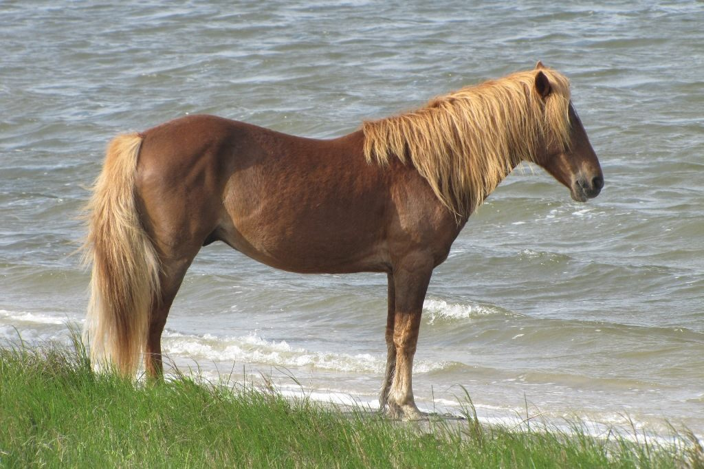 As the story goes, wild ponies have been on the island for many years, descending from domestic horses that landed here from a shipwreck off the coast. You will almost always come across these on the island (especially the Maryland side where they roam free), but you can take a wildlife cruise if you are more curious. (Image: Courtesy National Park Service)