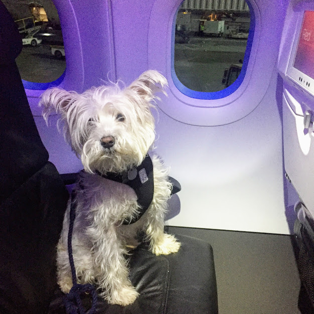<p>Test Out Your Carrier -- Get your pup comfortable in their carrier as many airports and airlines require your dog to be in their carrier at all times (Note, if your dog is a service animal or ESA, the rules are different){&nbsp;} (Image: Amanda Shapin)</p>