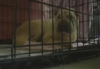 Ben-Shar pei dog in a cage.jpg