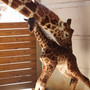Baby bump: Birthing giraffe becomes a cash cow for Upstate NY zoo