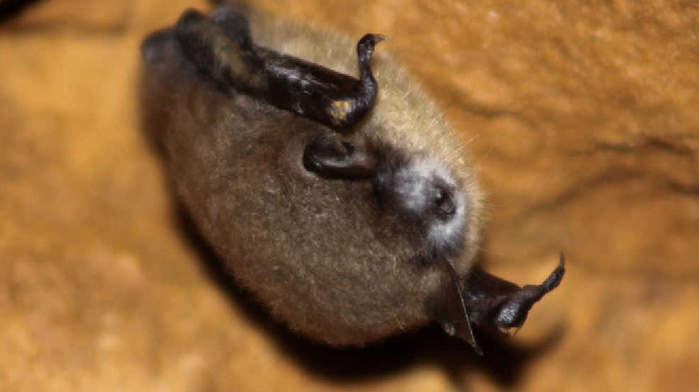 Bat with white-nose syndrome.