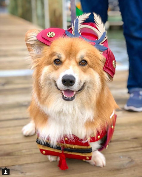 Nothing can contain the chest fluff of this stumpy samurai!{ }(Image: via IG user @moogle_the_fluffy_corgi)