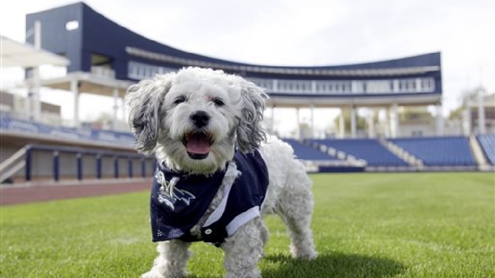 In this Feb. 22, 2014 photo, Milwaukee Brewers mascot, Hank, is at the team's spring training baseball practice in Phoenix. The team has unofficially adopted the dog and assigned the name ?Hank? after baseball great Hank Aaron. (AP Photo/Rick Scuteri)
