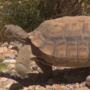 Southern Nevada biologist fears desert tortoises will pay the price for solar project