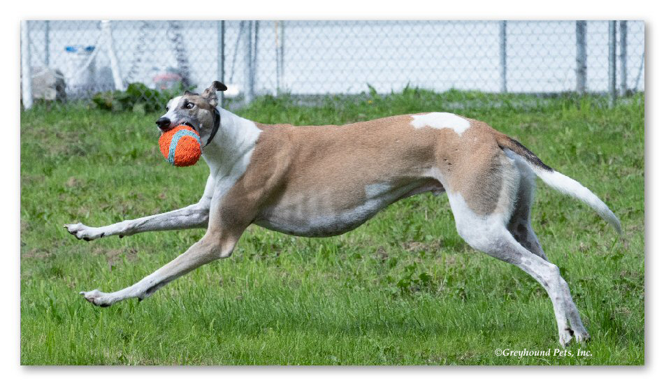 (Image: Greyhound Pets Inc.)