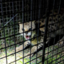 Missing African serval captured in Pelham, returned to owner