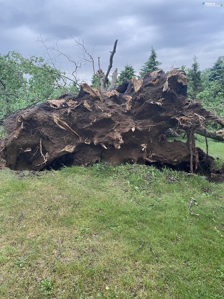 Property owners in Schoolcraft, Michigan, estimate this white oak tree, uprooted in the June 10-11 storms that swept the region, was about 180 years old. The tree's circumference was about 16 feet at the base. (WWMT/Chime In, Tammie Fowler)<p></p>