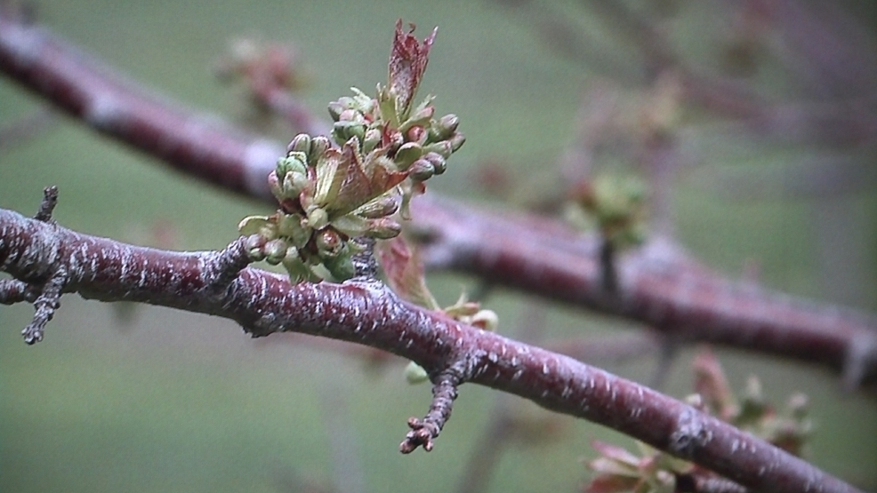 A sweet cherry bud struggles to blossom in Door County.