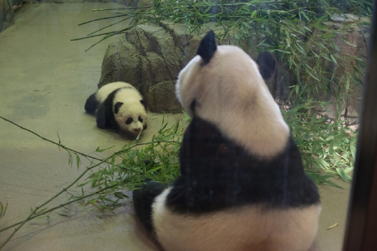 Bao Bao with her mom, Mei Xiang. December 13, 2013 (Image courtesy of Abby Wood, Smithsonian's National Zoo)