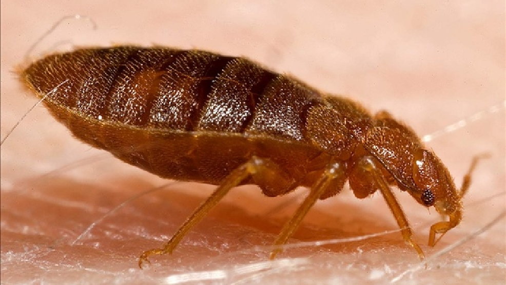 Bed Bug (Photo Credit: GNU Image, MGN Online)