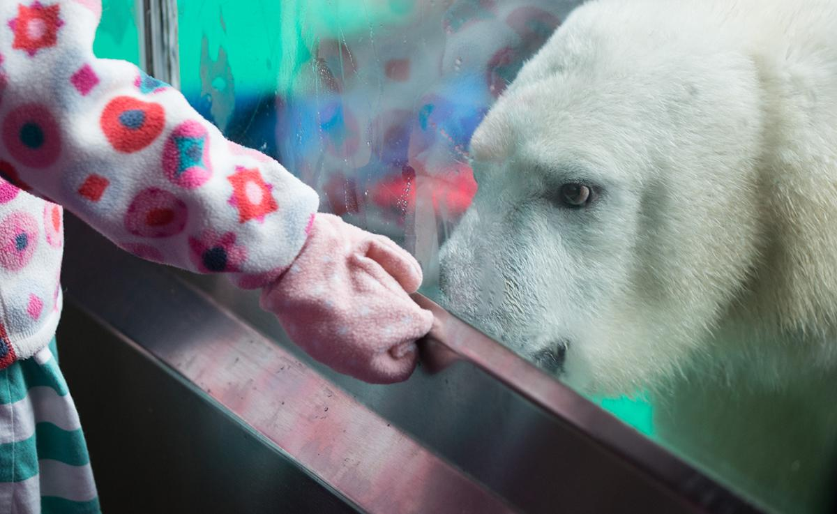 Nora the 1-year-old polar bear cub is making her first public appearances at the Oregon Zoo starting Nov. 28, 2016 since her move to the Pacific Northwest from the Columbus Zoo earlier this year. (KATU/Tristan Fortsch)