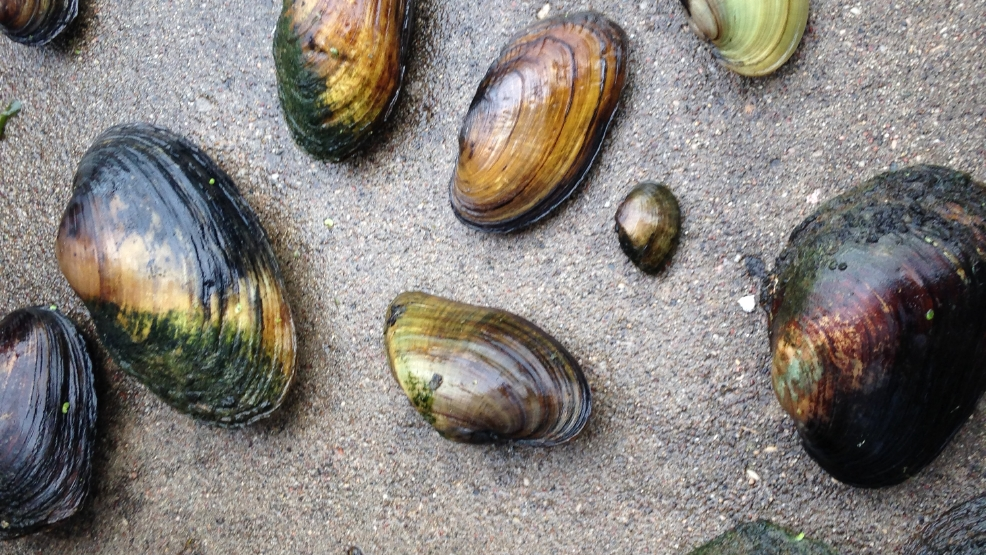 Clams found in the Pigeon River in Clintonville