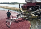 Workers at Elm Lake Cranberry Company in the town of Cranmoor harvest cranberries, September 2013. (WLUK/Eric Peterson)
