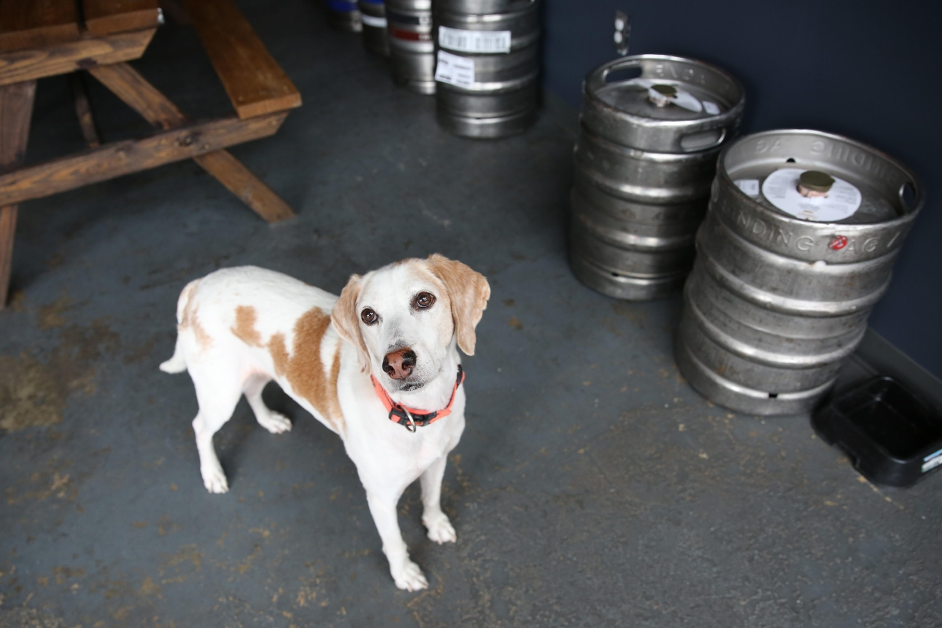 "Meet Andy, an almost nine-year-old (his birthday is on Cinco de Mayo!) hound mix, who has become the unofficial mascot of The Midlands beer garden! While his full name is Sir Andrew of Pantaloons, he goes by Andy Pants and was rescued by his dad three years ago. Peyton Sherwood, owner of The Midlands the former Kangaroo Boxing Club, adopted Andy from Lucky Dog Animal Rescue in 2014. Andy had been found abandoned and emaciated on a highway in North Carolina with another pup who unfortunately did not survive. Thankfully, Lucky Dog was able to save Andy from a kill shelter so he could find his forever home with Peyton! Andy loves the customers at The Midlands and his collar says ""do not feed"" as he is very persuasive at convincing guests to feed him prosciutto. Andy loves games of fetch, sleeping in small dog beds, long walks (beach optional) and chicken! He is not a fan of loud or sharp noises. If you or someone you know has a pet you'd like featured, email us at dcrefined@gmail.com or tag #DCRUFFined and your furbaby could be the next spotlighted! (Image: Amanda Andrade-Rhoades/ DC Refined)"